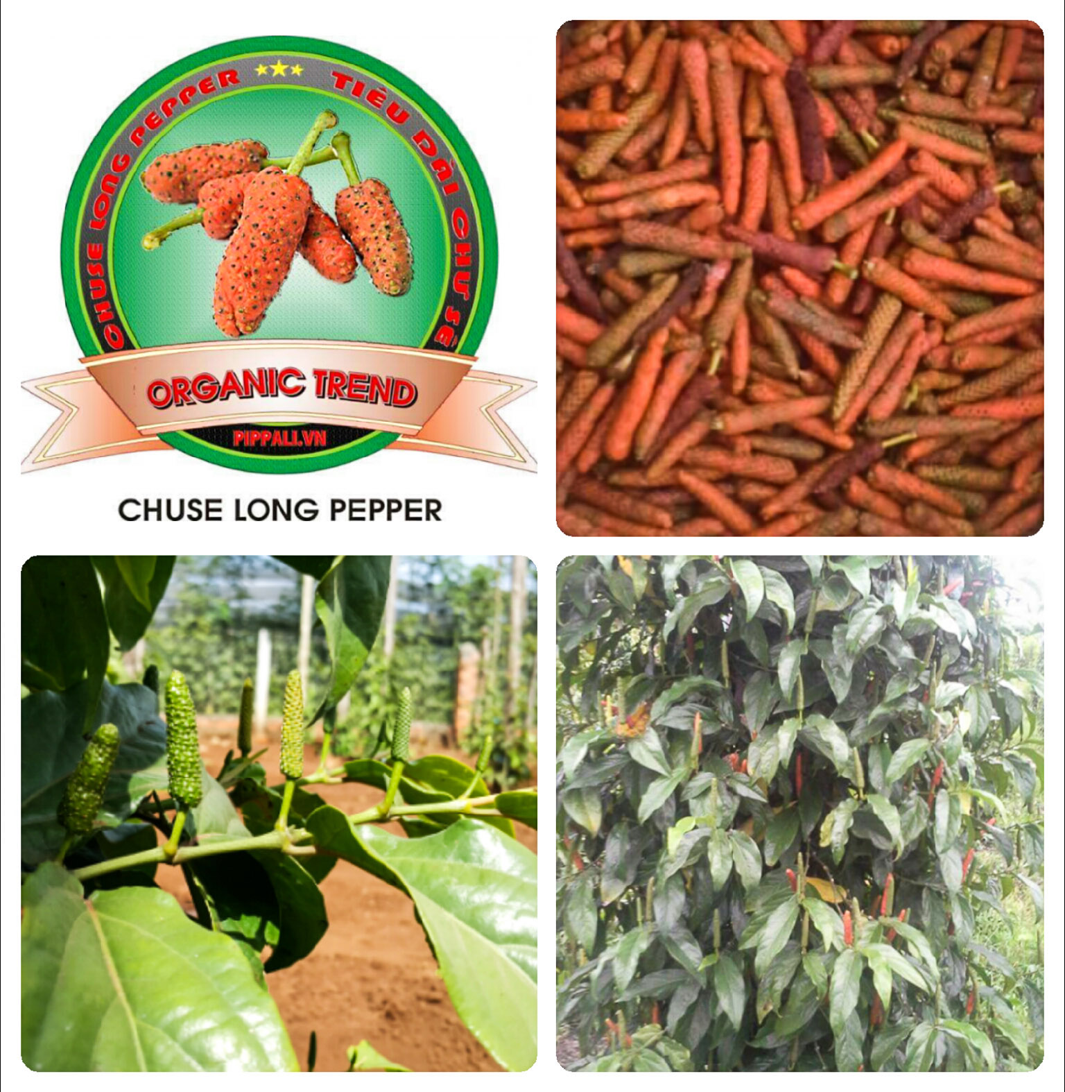 Chuse Long Pepper